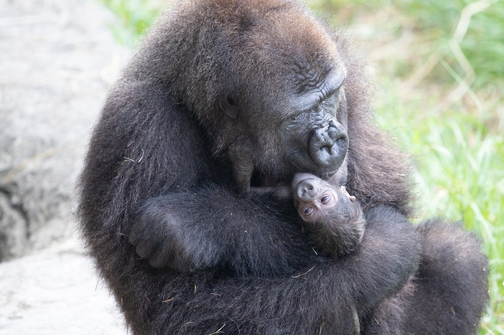 A critically endangered western lowland gorilla was born in the morning hours of September 4,...
