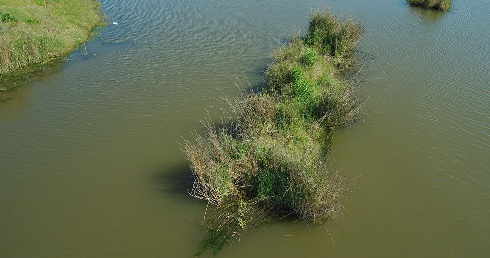 A floating islands mat installed in 2011 by CCA has now grown to be part of the marsh in Pointe...