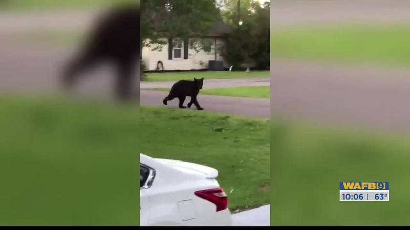 Black Bear pays a visit to a few neighbors in Port Allen