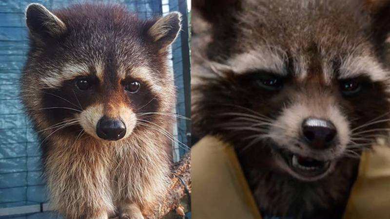 Oreo was turned into the CGI hero Rocket Raccoon, voiced by Bradley Cooper.