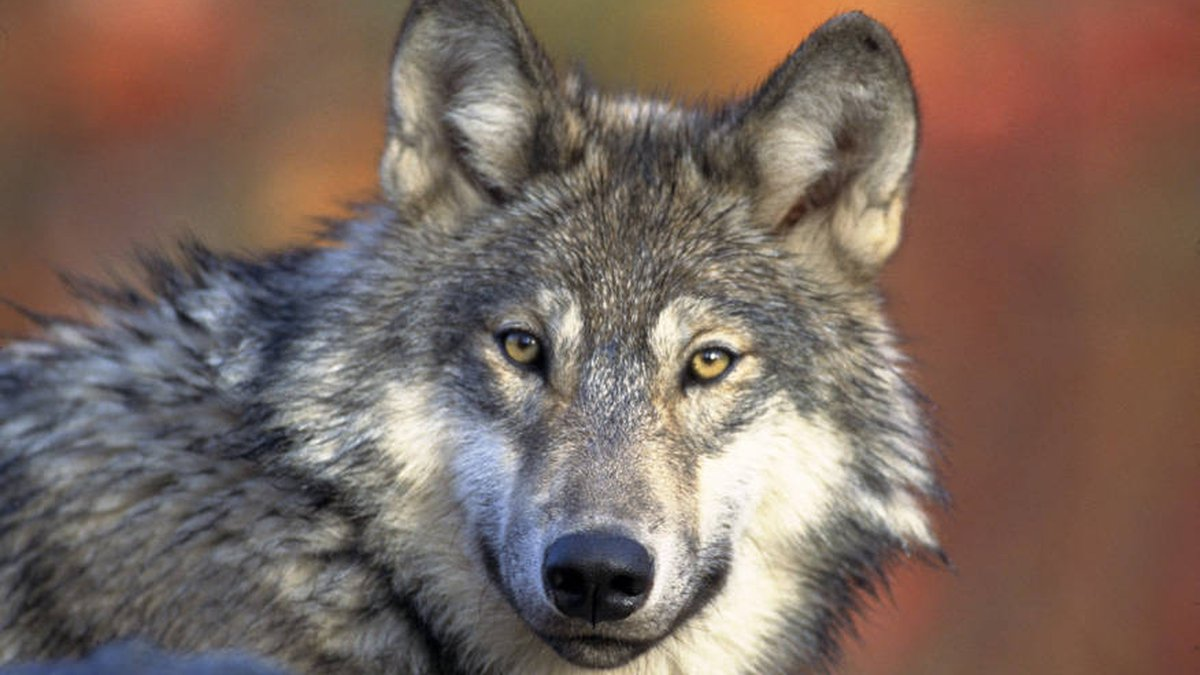 U.S. Fish and Wildlife Service file photo of a gray wolf (Canis lupus).