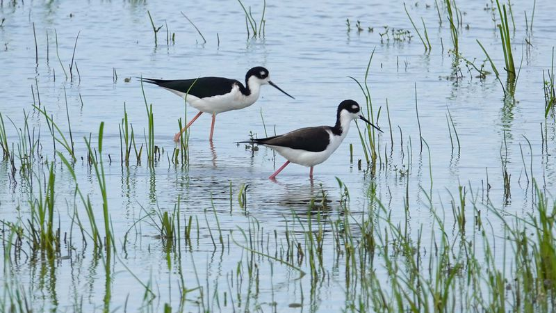 A pair of stilts look for a meal in Bay Denesse in Plaquemines Parish