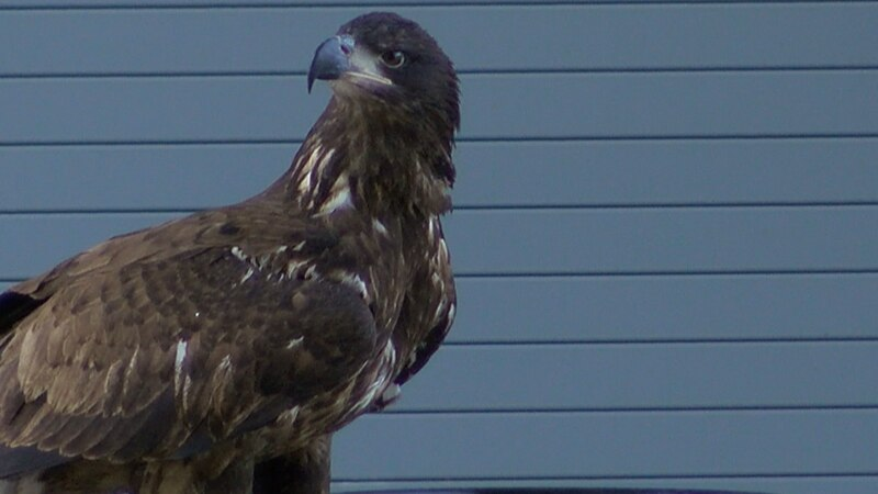 This bald eagle was nursed back to health at LSU's vet school and is now ready to be released...